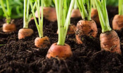 Прореживание не понадобится: два удобных способа посева моркови