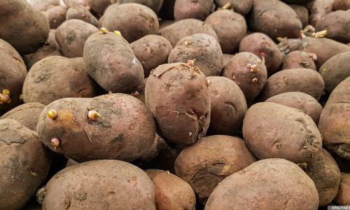 Медики назвали картошку, которую нельзя есть