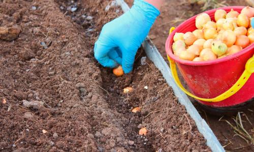 Посадка лука под зиму: главные правила для хорошего урожая